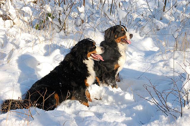 http://www.bernsky-salasnicky-pes.cz/images/holky-zima.jpg
